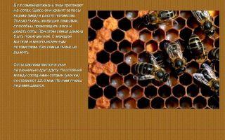 Как и из чего пчелы строят соты