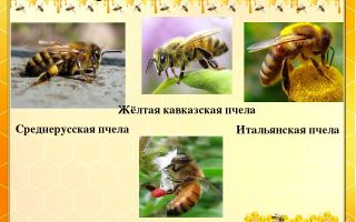 Особенности пчёл среднерусской породы