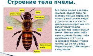 Особенности строения пчел
