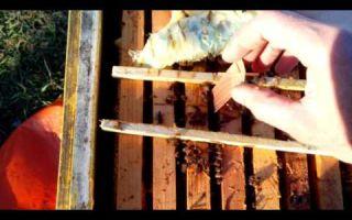 Осенняя обработка ульев и пчел от клеща