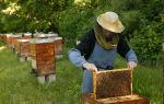 Уход за пчелами. простые советы начинающим пасечникам.