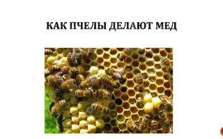 Биохимические технологии или как пчелы делают мед