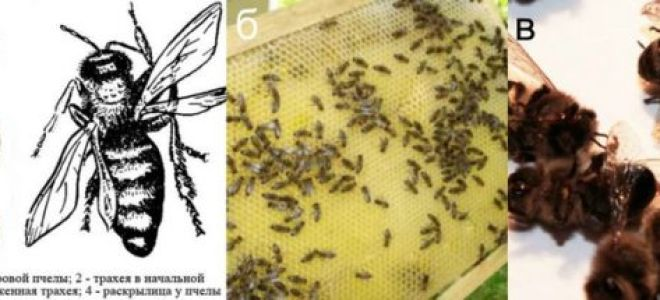 Анатомия пчелы и описание ее быта