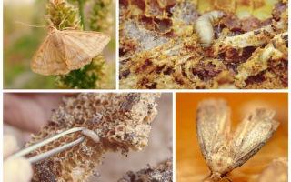 О пользе и вреде пчелиной огневки