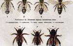 Виды и разновидности диких пчел