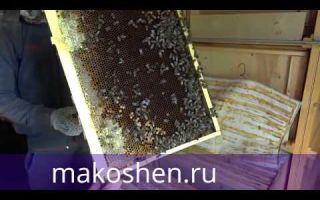 Редкий и необычный пчелиный продукт – мед молочай