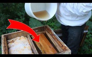 Топинамбур — осеннее подспорье для пчел