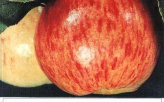 Яблоко медовое или медуница – лучший летний десертный сорт