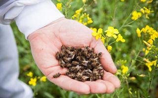 О приеме в пищу пчелиного подмора