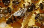Матка пчел