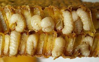О пользе личинок и пчелиного гомогената
