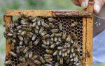 Карпатская пчела – миролюбивое насекомое на вашей пасеке