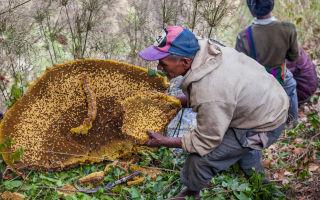 Мед больших и гигантских пчел