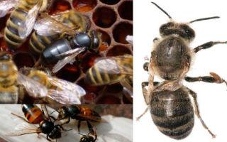 Чем лечат пчел от паралича