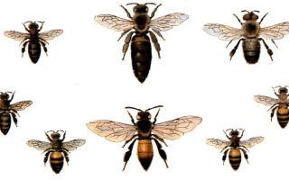 Виды пчел – древнейших представителей насекомых