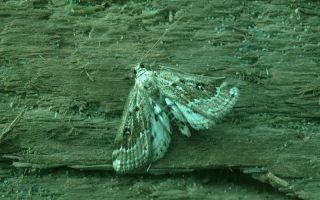 Ценность башкирской бабочки-огневки