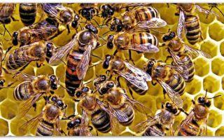 Пчеловоду о степных украинских пчелах