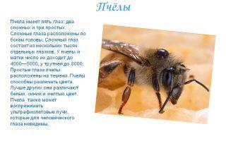 Сколько глаз у пчелы – отвечаем на вопросы