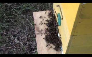 Что такое воровство пчел и как с ним бороться?