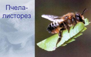 Кто такие пчелы-листорезы?