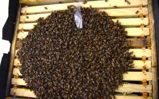 Как зимуют пчелы в улье