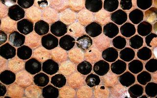 Как выявить и вылечить болезни пчел?