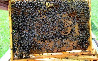 Чем интересная алтайская пчела