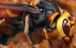 Применение эндоглюкина для пчел