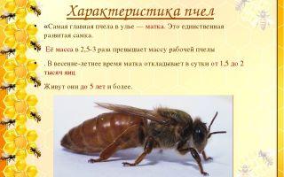 Особенности и загадки жизни кавказской пчелы