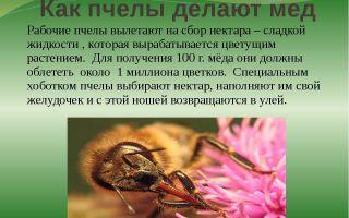 Как пчелы собирают и делают мед