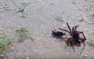 Зачем дорожным осам нужны пауки?