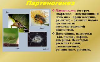 Зачем пчелам нужен партеногенез