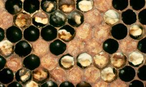 Болезни расплода пчел
