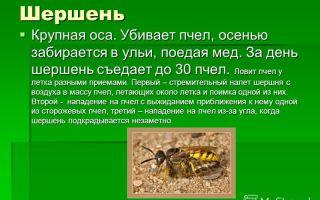 Особенности шершня обыкновенного