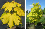 Клен – прекрасный медонос лесных угодий
