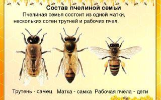 Рабочие пчелы – самки или самцы?