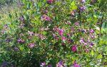 Леспедеца двуцветная — ценный медонос