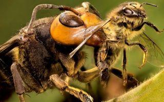 Чем опасны африканские пчелы-убийцы?