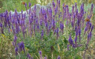 Растение-медонос шалфей