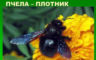 Может ли пчела быть плотником