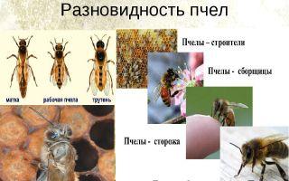 Разновидности и породы пчёл