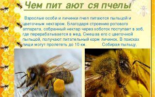 Чем питаются медоносные пчелы