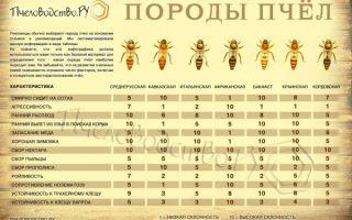 Особенности содержания и характеристика пчел породы карника
