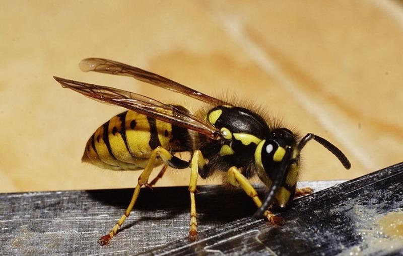 Где живут осы